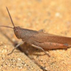 Goniaea australasiae (Gumleaf grasshopper) at Wamboin, NSW - 7 Dec 2018 by natureguy