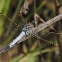 Orthetrum caledonicum (Blue Skimmer) at Point Hut to Tharwa - 27 Mar 2019 by michaelb