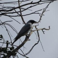 Coracina novaehollandiae (Black-faced Cuckoo-shrike) at Panboola - 18 Jun 2019 by LizAllen