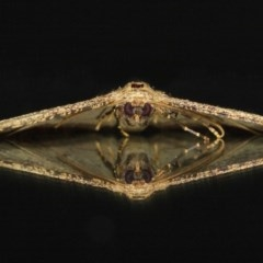 Ectropis (genus) (An engrailed moth) at Evatt, ACT - 10 Jun 2019 by TimL