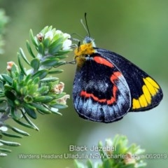 Delias nigrina (Black Jezebel) at Coomee Nulunga Cultural Walking Track - 12 Jun 2019 by Charles Dove