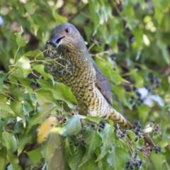 Ptilonorhynchus violaceus (Satin Bowerbird) at Lake Burley Griffin West - 19 Jun 2019 by Alison Milton