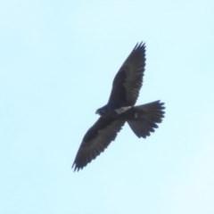 Falco subniger (Black Falcon) at Paddys River, ACT - 19 Jun 2019 by RyuCallaway