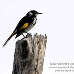 Phylidonyris novaehollandiae (New Holland Honeyeater) at Coomee Nulunga Cultural Walking Track - 11 Jun 2019 by CharlesDove