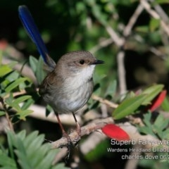 Malurus cyaneus (Superb Fairy-wren) at Coomee Nulunga Cultural Walking Track - 11 Jun 2019 by CharlesDove