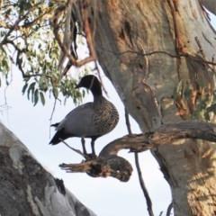 Chenonetta jubata (Australian Wood Duck) at Hughes, ACT - 20 Jun 2019 by JackyF
