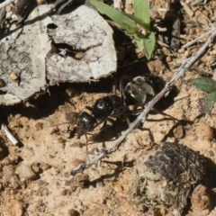 Iridomyrmex sp. (genus) (Ant) at Illilanga & Baroona - 23 Dec 2018 by Illilanga