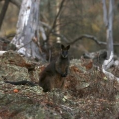Wallabia bicolor (Swamp Wallaby) at Mount Ainslie - 20 Jun 2019 by jbromilow50