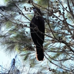 Calyptorhynchus lathami (Glossy Black-cockatoo) at Murramarang National Park - 21 Jun 2019 by Nicholas de Jong