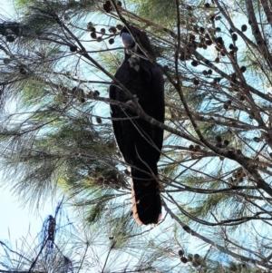 Calyptorhynchus lathami at Murramarang National Park - 21 Jun 2019