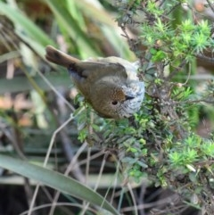 Acanthiza pusilla (Brown Thornbill) at Murramarang National Park - 21 Jun 2019 by Nicholas de Jong