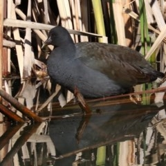 Gallinula tenebrosa (Dusky Moorhen) at Jerrabomberra Wetlands - 21 Jun 2019 by jbromilow50