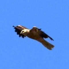 Haliastur sphenurus (Whistling Kite) at Jerrabomberra Wetlands - 21 Jun 2019 by jbromilow50
