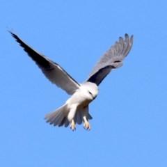 Elanus axillaris (Black-shouldered Kite) at Jerrabomberra Wetlands - 21 Jun 2019 by jbromilow50