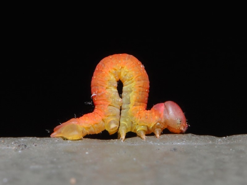 Lepidoptera unclassified IMMATURE moth at ANBG - 20 Jun 2019
