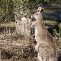 Macropus giganteus (Eastern Grey Kangaroo) at Red Hill Nature Reserve - 20 Jun 2019 by LisaH