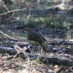 Ptilonorhynchus violaceus (Satin Bowerbird) at Red Hill Nature Reserve - 20 Jun 2019 by LisaH
