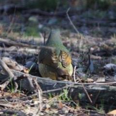 Ptilonorhynchus violaceus at Red Hill Nature Reserve - 20 Jun 2019