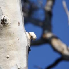 Laetiporus portentosus at Red Hill Nature Reserve - 20 Jun 2019