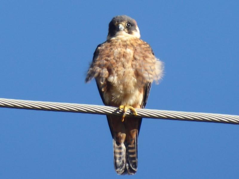 Falco longipennis at Jerrabomberra Wetlands - 22 Jun 2019