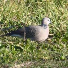 Streptopelia chinensis (Spotted Dove) at Jerrabomberra Wetlands - 22 Jun 2019 by Christine