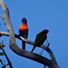 Trichoglossus moluccanus (Rainbow Lorikeet) at Red Hill Nature Reserve - 19 Jun 2019 by LisaH