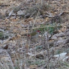 Neochmia temporalis (Red-browed Finch) at Deakin, ACT - 23 Jun 2019 by JackyF