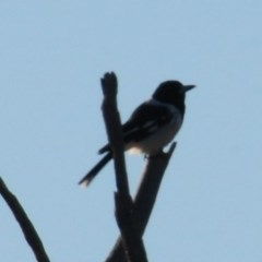 Cracticus nigrogularis (Pied Butcherbird) at Red Hill Nature Reserve - 30 Mar 2019 by Harrisi