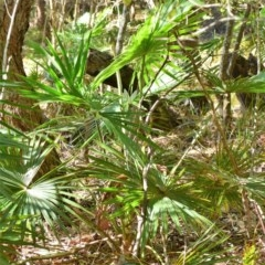 Livistona australis (Australian Cabbage Palm) at Murramarang National Park - 21 Jun 2019 by Nicholas de Jong