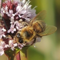Apis mellifera (European honey bee) at Point Hut to Tharwa - 3 Apr 2019 by michaelb
