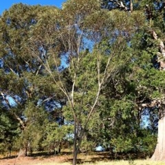 Eucalyptus stricta at Brogo, NSW - 24 Jun 2019
