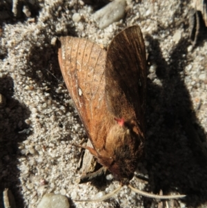 Oxycanus sp. at Morton National Park - 21 May 2019