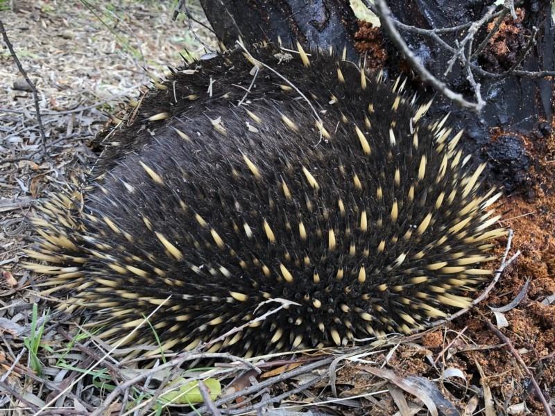 Tachyglossus aculeatus at Michelago, NSW - 16 Jun 2019