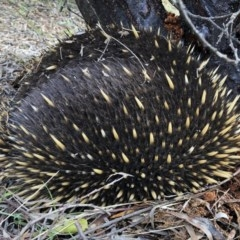 Tachyglossus aculeatus (Short-beaked Echidna) at Illilanga & Baroona - 16 Jun 2019 by Illilanga