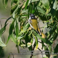Melithreptus lunatus (White-naped Honeyeater) at Garrad Reserve Walking Track - 20 Jun 2019 by Charles Dove