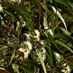 Phylidonyris novaehollandiae (New Holland Honeyeater) at Brogo, NSW - 25 Jun 2019 by MaxCampbell