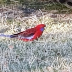 Platycercus elegans (Crimson Rosella) at Black Flat at Corrowong - 26 Jun 2019 by BlackFlat