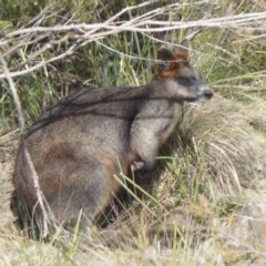 Wallabia bicolor (Swamp Wallaby) at Yass, NSW - 25 Jun 2019 by Christine