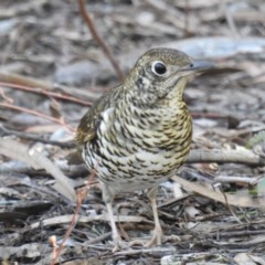 Zoothera lunulata (Bassian Thrush) at ANBG - 27 Jun 2019 by HelenCross