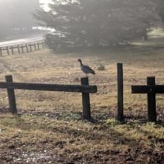 Chenonetta jubata (Australian Wood Duck) at Moss Vale - 26 Jun 2019 by Margot