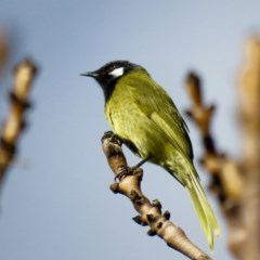 Nesoptilotis leucotis (White-eared Honeyeater) at Black Flat at Corrowong - 16 Jun 2019 by BlackFlat