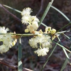 Acacia suaveolens (Sweet Wattle) at Meroo National Park - 28 Jun 2019 by GLemann