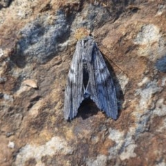 Capusa (genus) (Wedge moth) at Hughes, ACT - 26 Jun 2019 by JackyF