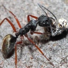 Camponotus suffusus (Golden-tailed sugar ant) at ANBG - 20 Jun 2019 by TimL