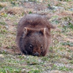 Vombatus ursinus (Wombat) at Gordon, ACT - 29 Jun 2019 by RodDeb