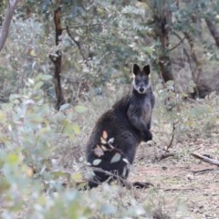 Wallabia bicolor (Swamp Wallaby) at Mount Ainslie - 28 Jun 2019 by jbromilow50