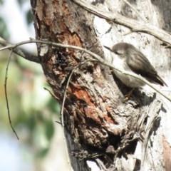 Daphoenositta chrysoptera (Varied Sittella) at Stony Creek Nature Reserve - 29 Jun 2019 by KumikoCallaway