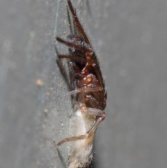 Clubiona sp. (genus) (Unidentified Stout Sac Spider) at ANBG - 26 Jun 2019 by TimL
