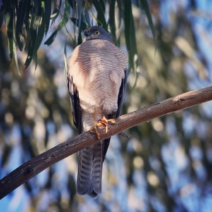 Accipiter cirrocephalus at Jerrabomberra Wetlands - 28 Jun 2019