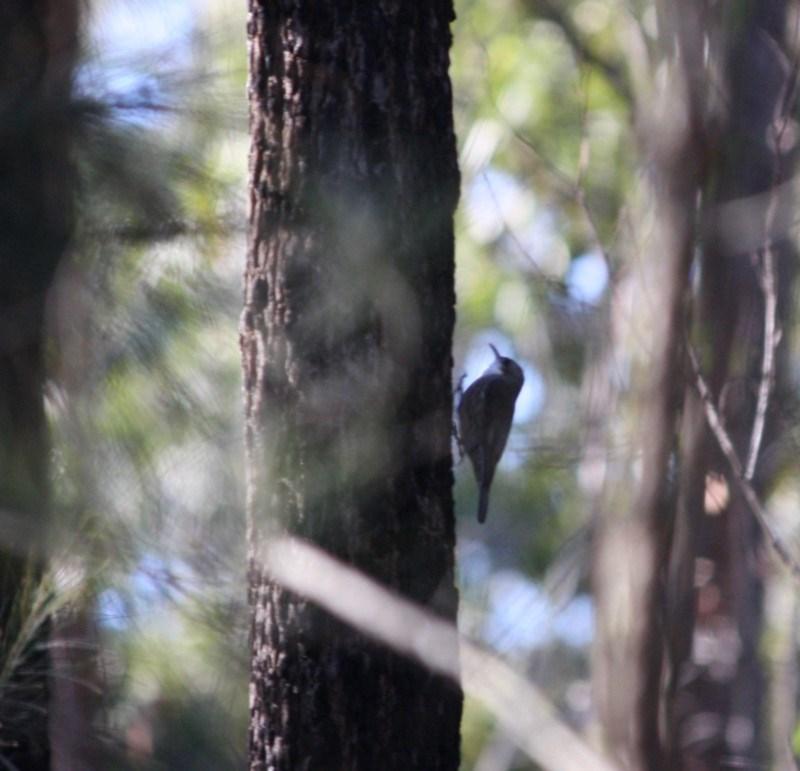 Cormobates leucophaea at Mogo State Forest - 30 Jun 2019